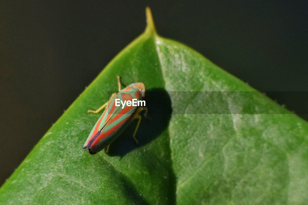 plant part, leaf, animals in the wild, green color, animal themes, animal, animal wildlife, one animal, close-up, invertebrate, insect, nature, no people, day, plant, outdoors, focus on foreground, sunlight, selective focus, leaf vein