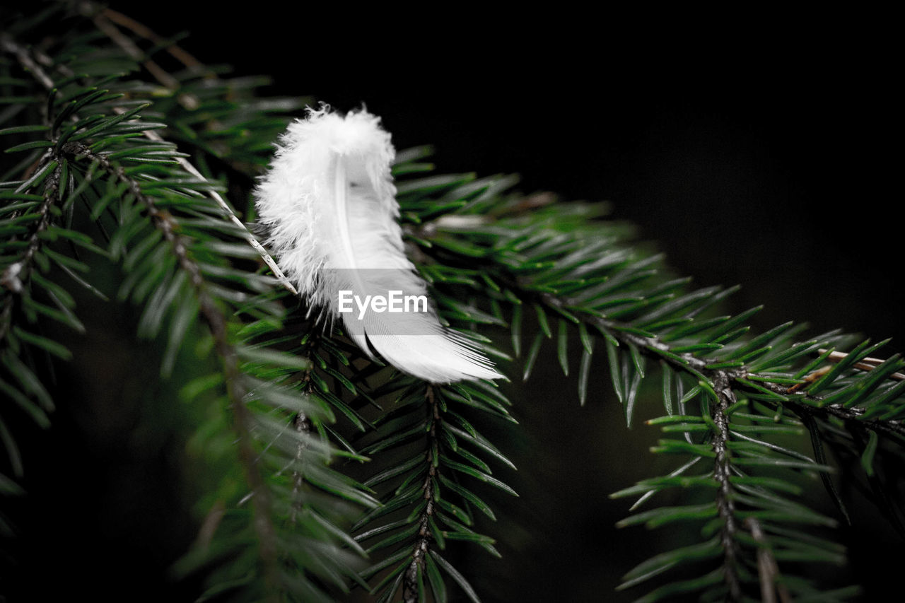plant, growth, close-up, nature, green color, beauty in nature, tree, no people, leaf, plant part, white color, fragility, selective focus, vulnerability, day, outdoors, pine tree, focus on foreground, christmas, tranquility, needle - plant part, coniferous tree, softness, fir tree