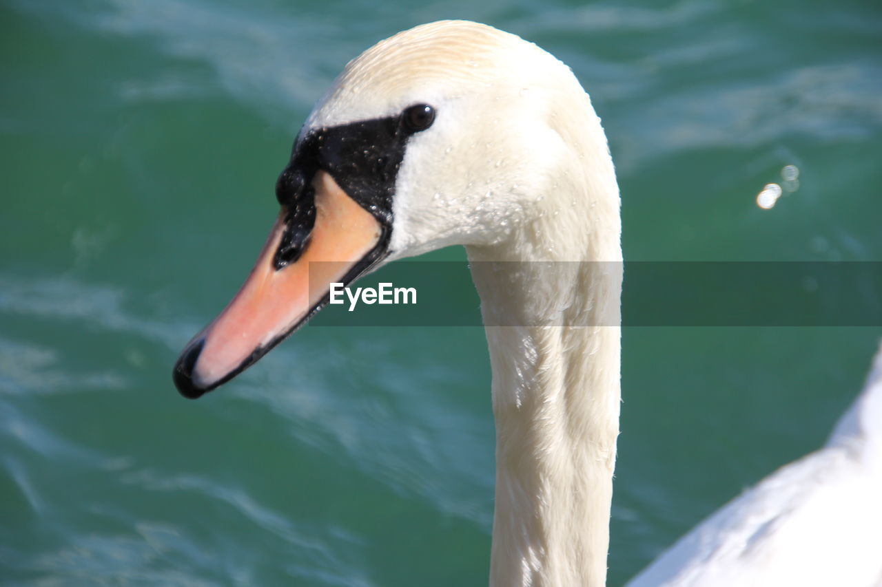 animals in the wild, animal wildlife, animal, animal themes, water, one animal, bird, vertebrate, swimming, swan, beak, no people, nature, day, focus on foreground, close-up, animal body part, water bird, lake, animal head, outdoors, animal neck