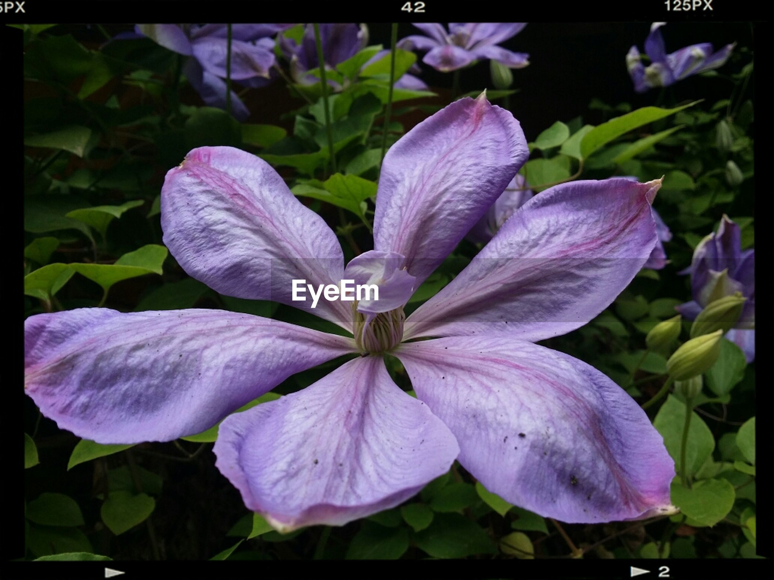 flower, petal, freshness, transfer print, flower head, fragility, purple, growth, beauty in nature, close-up, auto post production filter, blooming, nature, plant, leaf, in bloom, stamen, focus on foreground, pollen, blossom