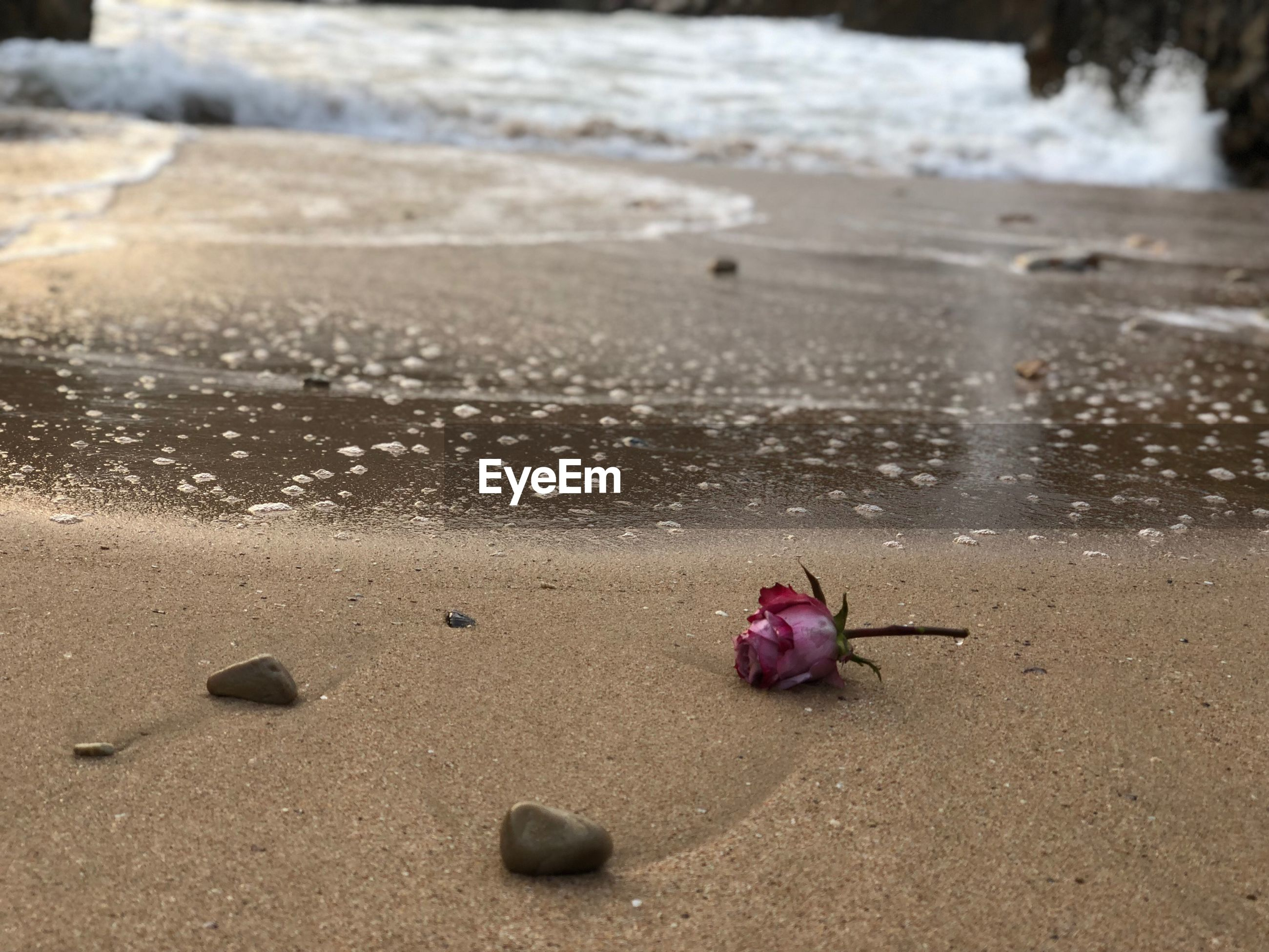 CLOSE-UP OF PINK FLOWER ON SAND