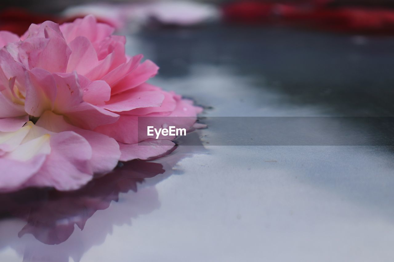 pink color, flower, flowering plant, plant, beauty in nature, freshness, vulnerability, petal, fragility, close-up, nature, flower head, inflorescence, water, no people, growth, day, selective focus, outdoors, cherry blossom