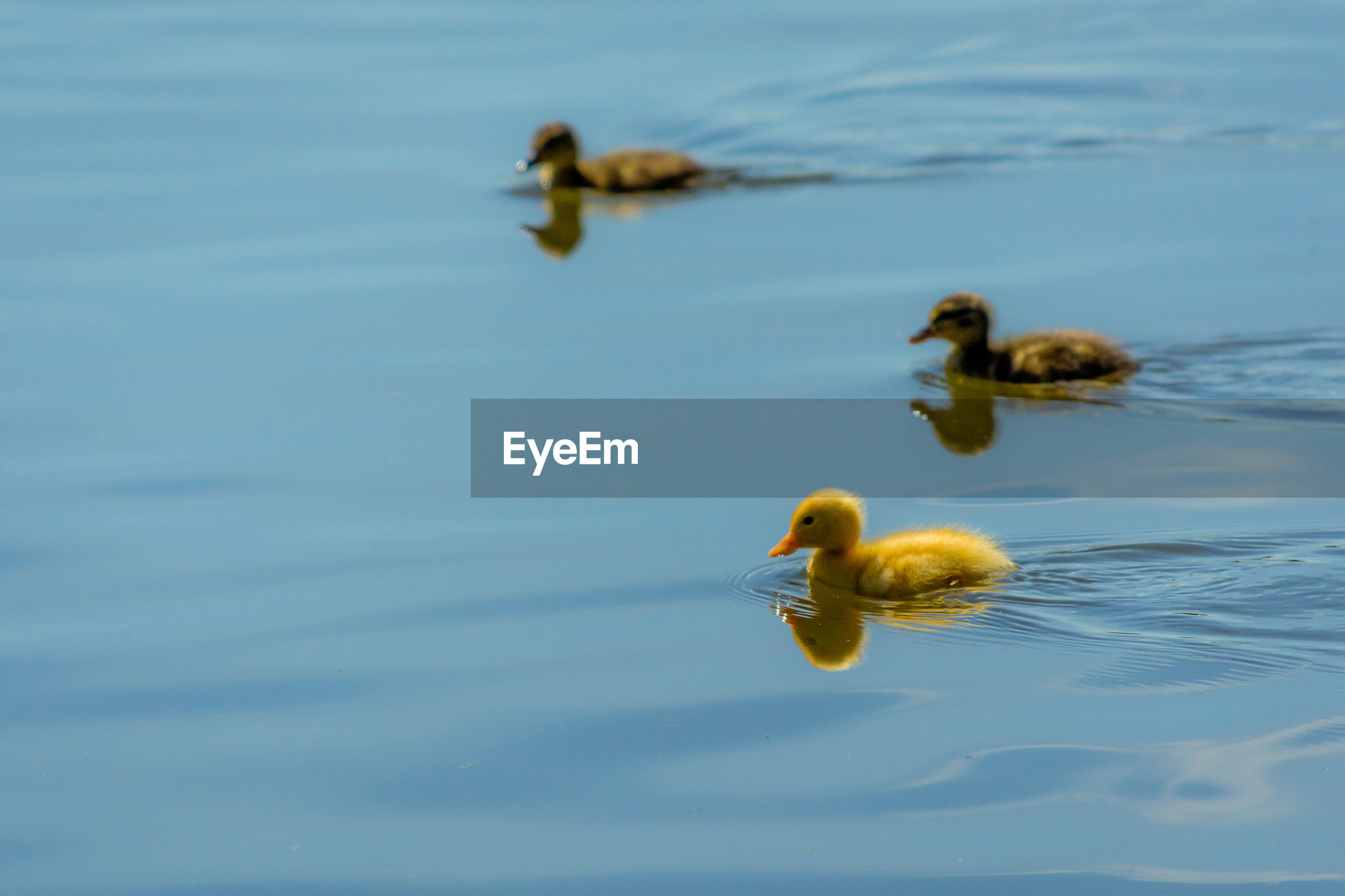 Side view of ducklings swimming in lake