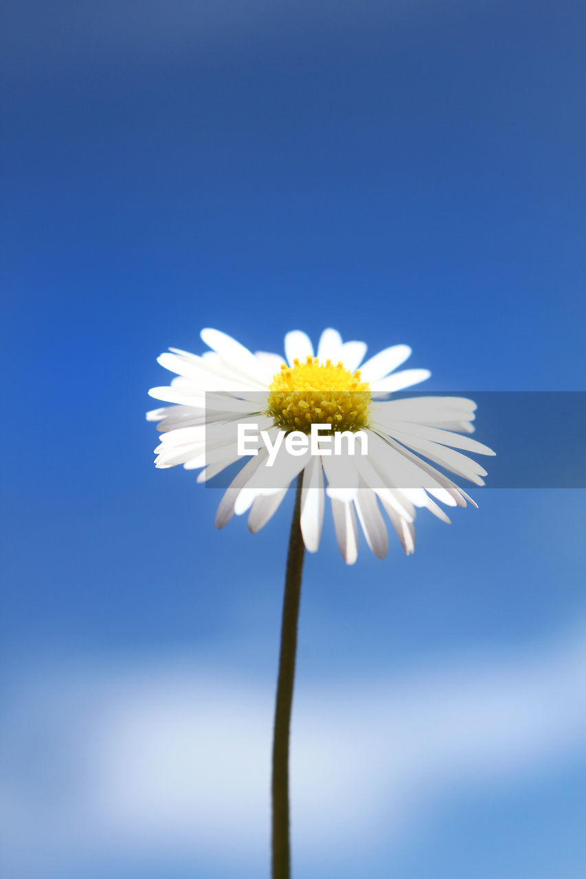 CLOSE-UP OF WHITE DAISY FLOWER AGAINST SKY