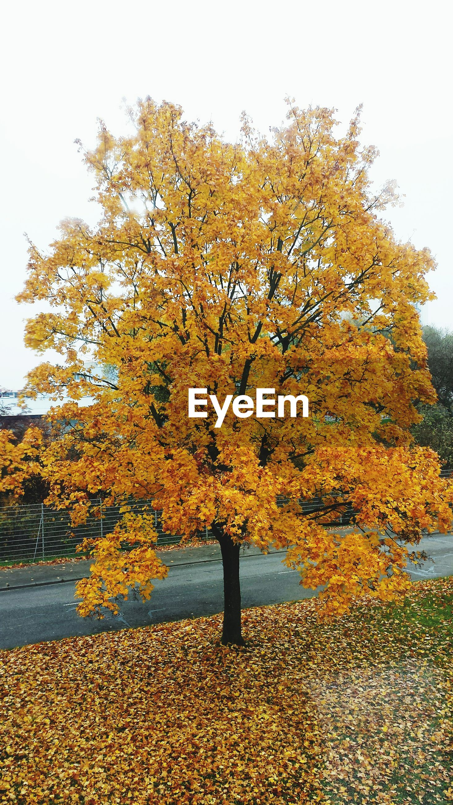tree, autumn, yellow, season, change, clear sky, beauty in nature, nature, growth, tranquility, branch, water, leaf, tranquil scene, scenics, flower, sky, day, outdoors, no people