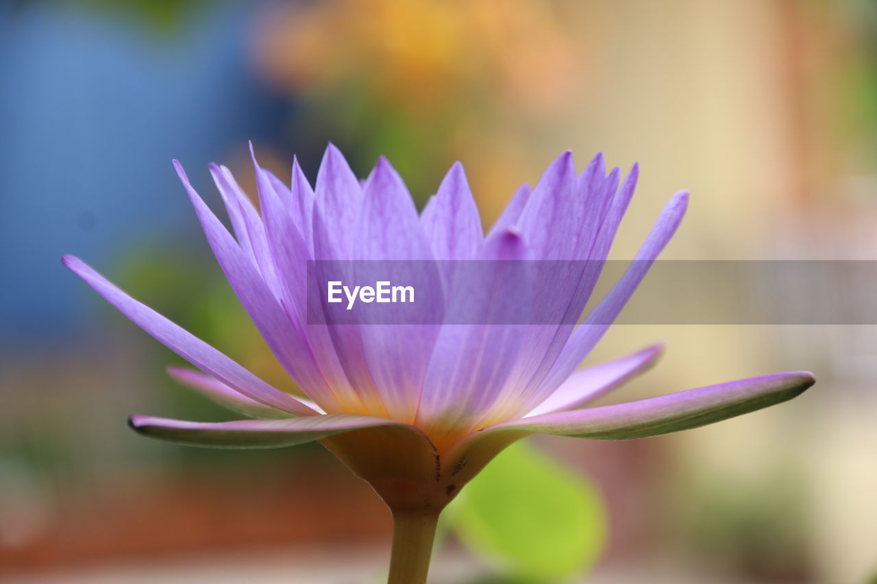 flowering plant, flower, vulnerability, beauty in nature, fragility, freshness, close-up, plant, focus on foreground, petal, growth, flower head, inflorescence, nature, no people, purple, day, water lily, outdoors, crocus