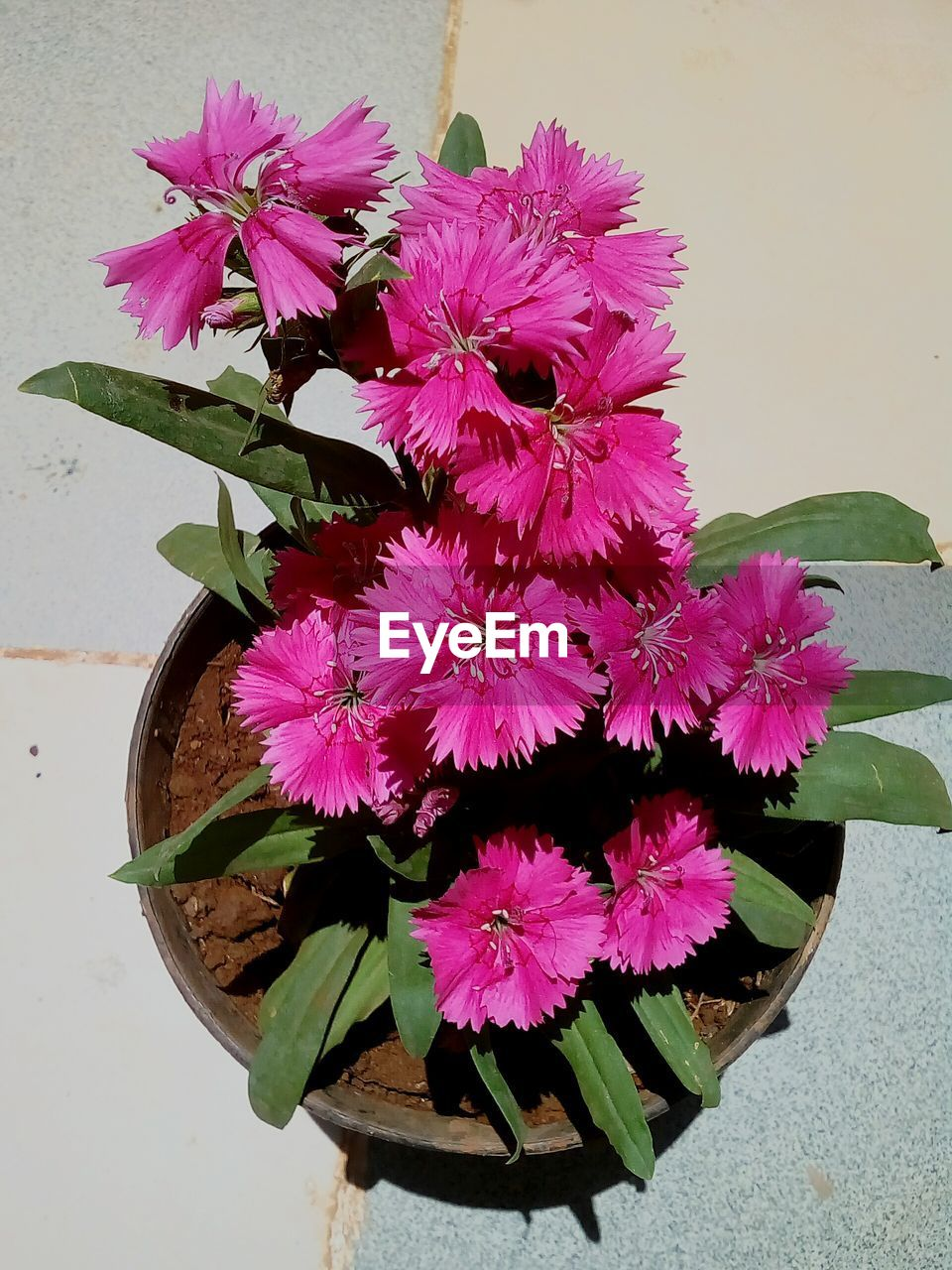 flower, flowering plant, plant, petal, vulnerability, fragility, beauty in nature, flower head, freshness, inflorescence, pink color, close-up, leaf, nature, plant part, growth, potted plant, high angle view, no people, flower pot, outdoors, purple, flower arrangement, bunch of flowers, bouquet