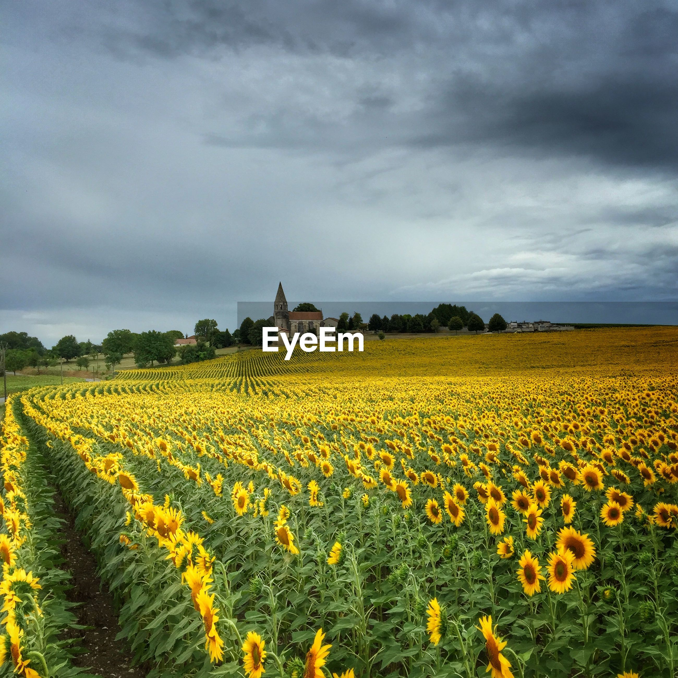 Scenic view of sunflower farm against cloudy sky