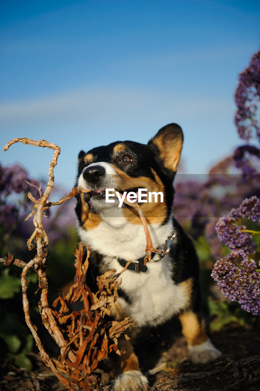Pembroke welsh corgi playing with plant stem at field against blue sky