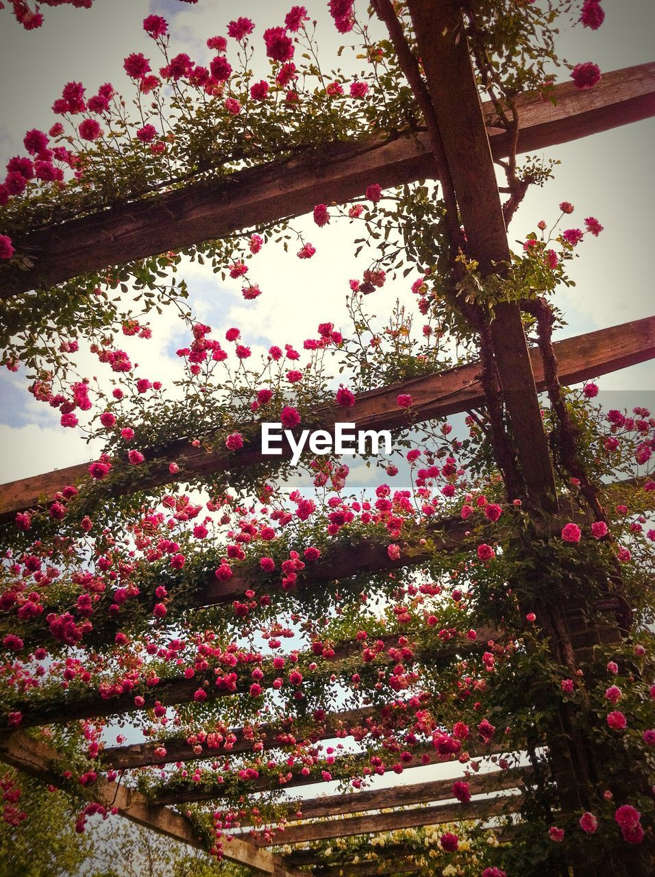 Low Angle View Of Pink Flowering Plants On Roof Beam