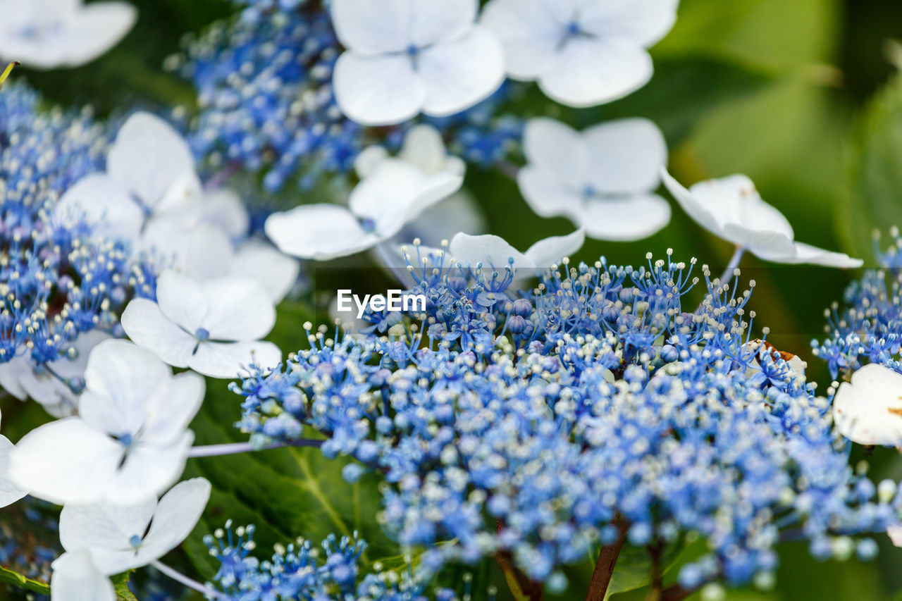 flower, flowering plant, plant, freshness, beauty in nature, growth, close-up, vulnerability, fragility, selective focus, white color, day, no people, nature, purple, blue, petal, hydrangea, abundance, inflorescence, flower head