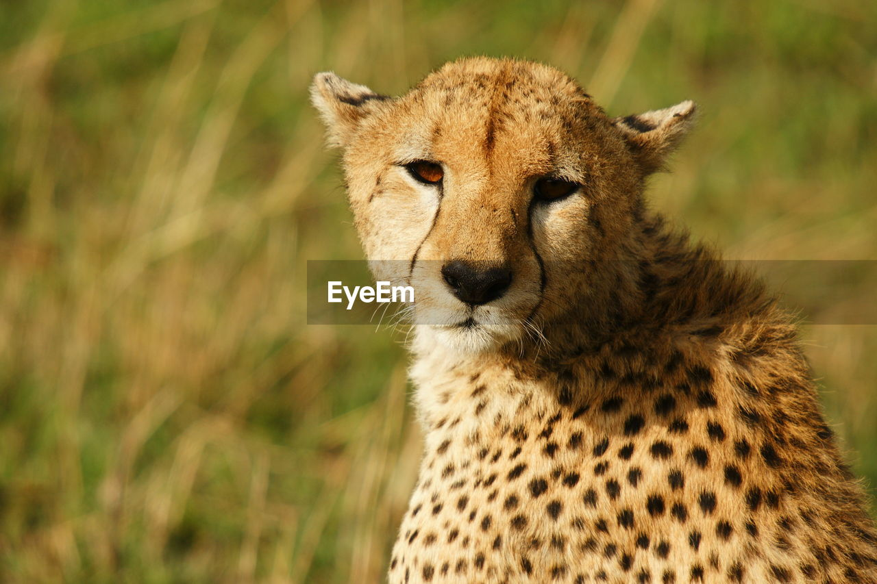 Portrait of cheetah in field on sunny day