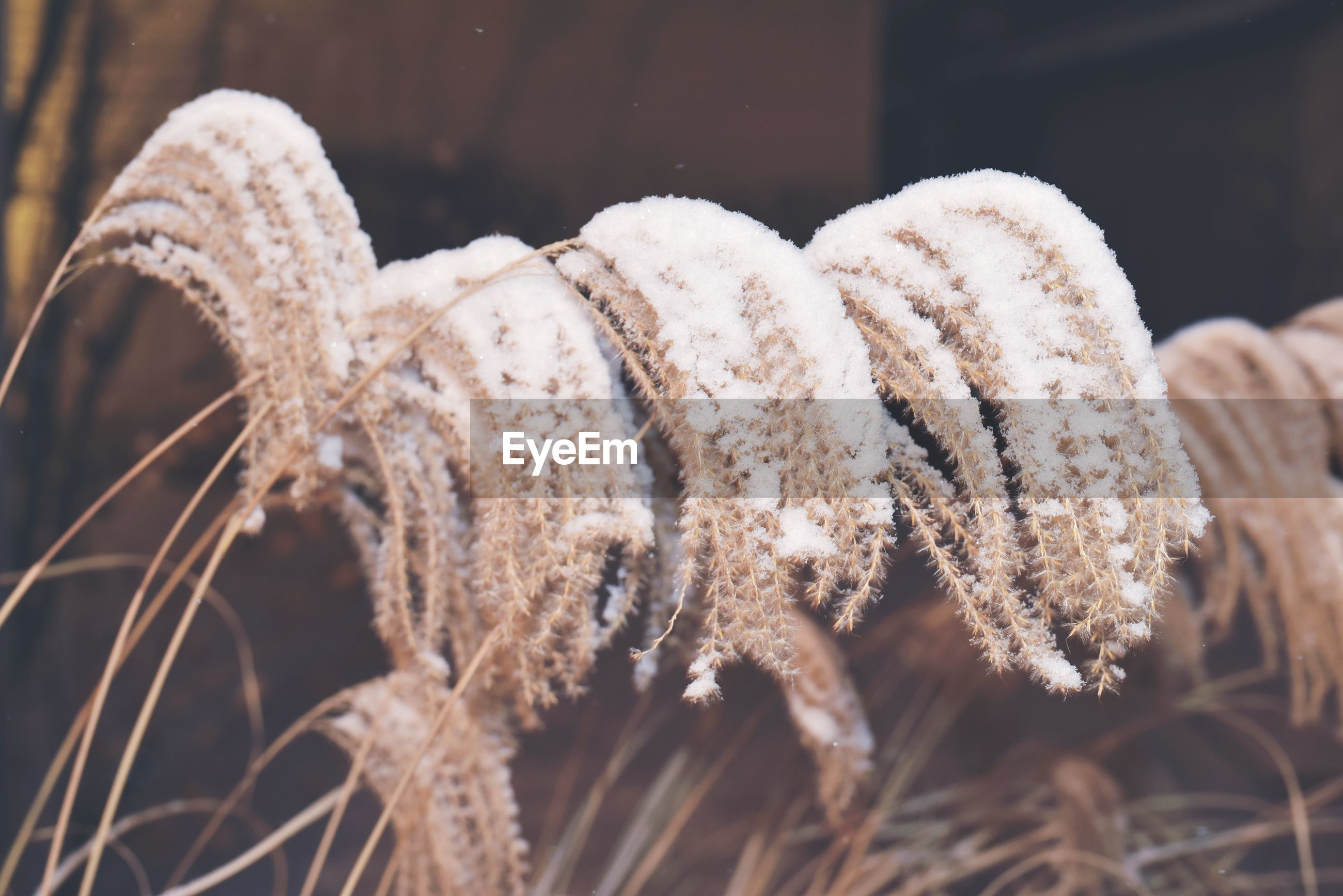 Snow covered grasses
