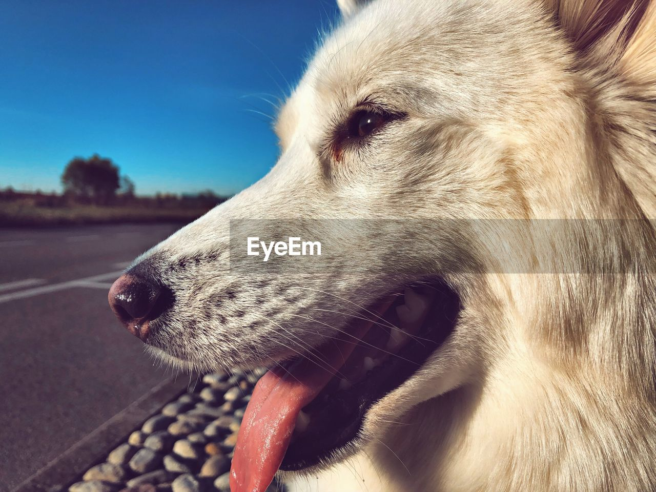one animal, animal, animal themes, mammal, domestic animals, domestic, vertebrate, pets, close-up, animal body part, dog, canine, looking away, looking, animal head, no people, focus on foreground, day, side view, sky, mouth open, animal tongue, profile view, whisker, animal mouth, snout
