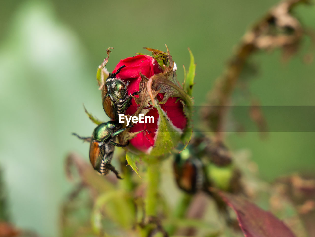 invertebrate, insect, animals in the wild, animal themes, animal wildlife, close-up, plant, animal, one animal, selective focus, leaf, plant part, day, nature, growth, no people, beauty in nature, green color, focus on foreground, red, outdoors, pollination