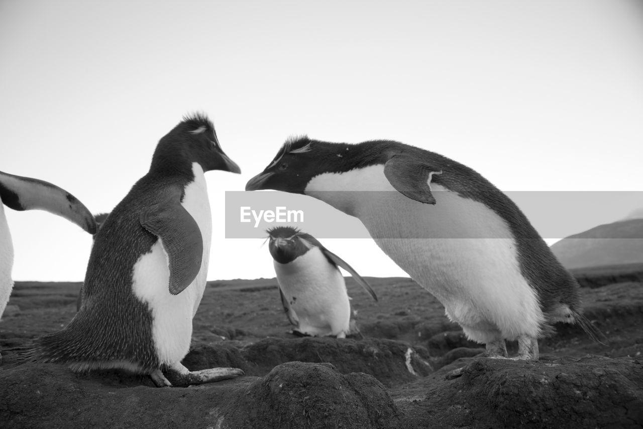 Penguins on mountain against clear sky