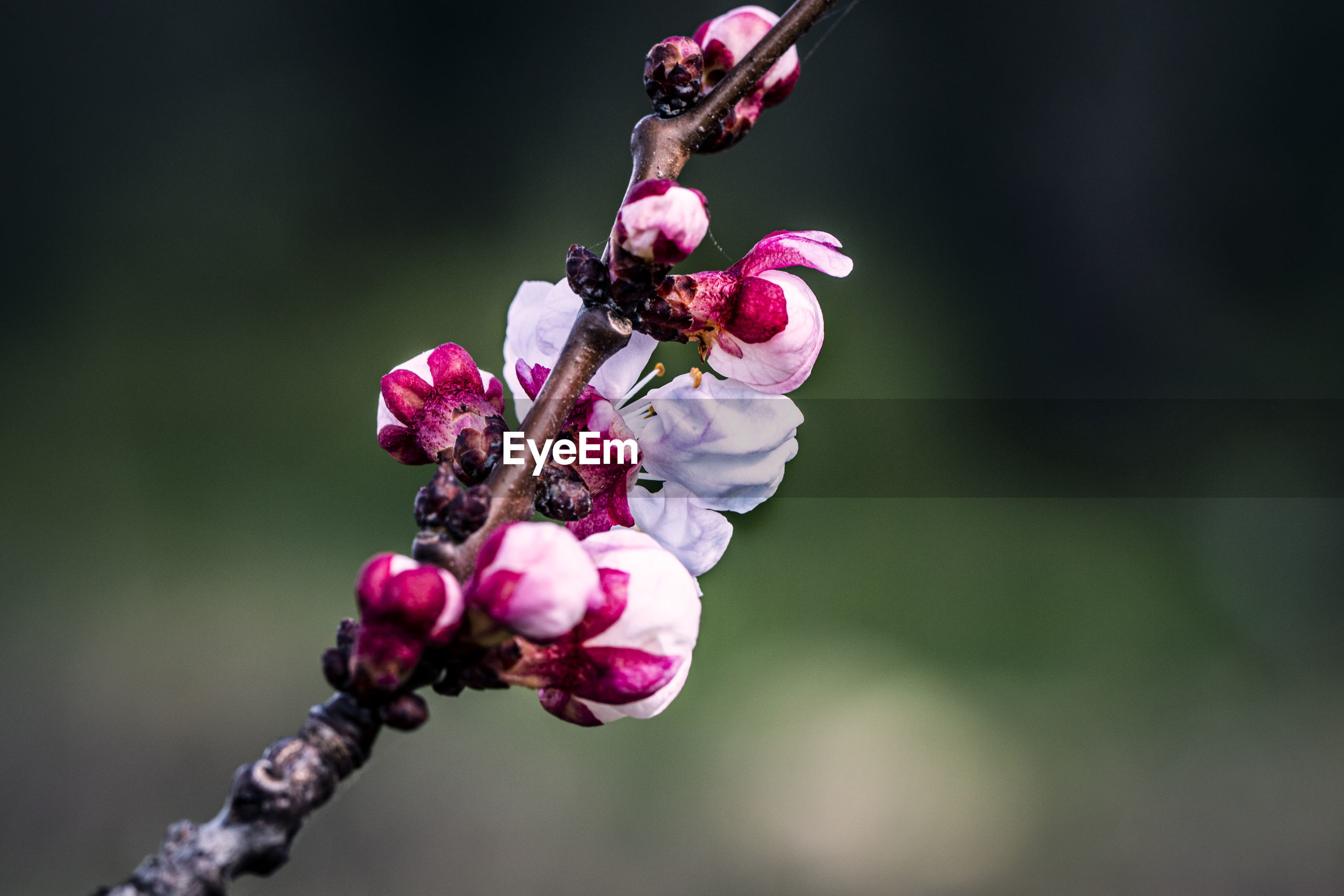 CLOSE-UP OF PINK CHERRY BLOSSOMS ON PURPLE FLOWERING PLANT