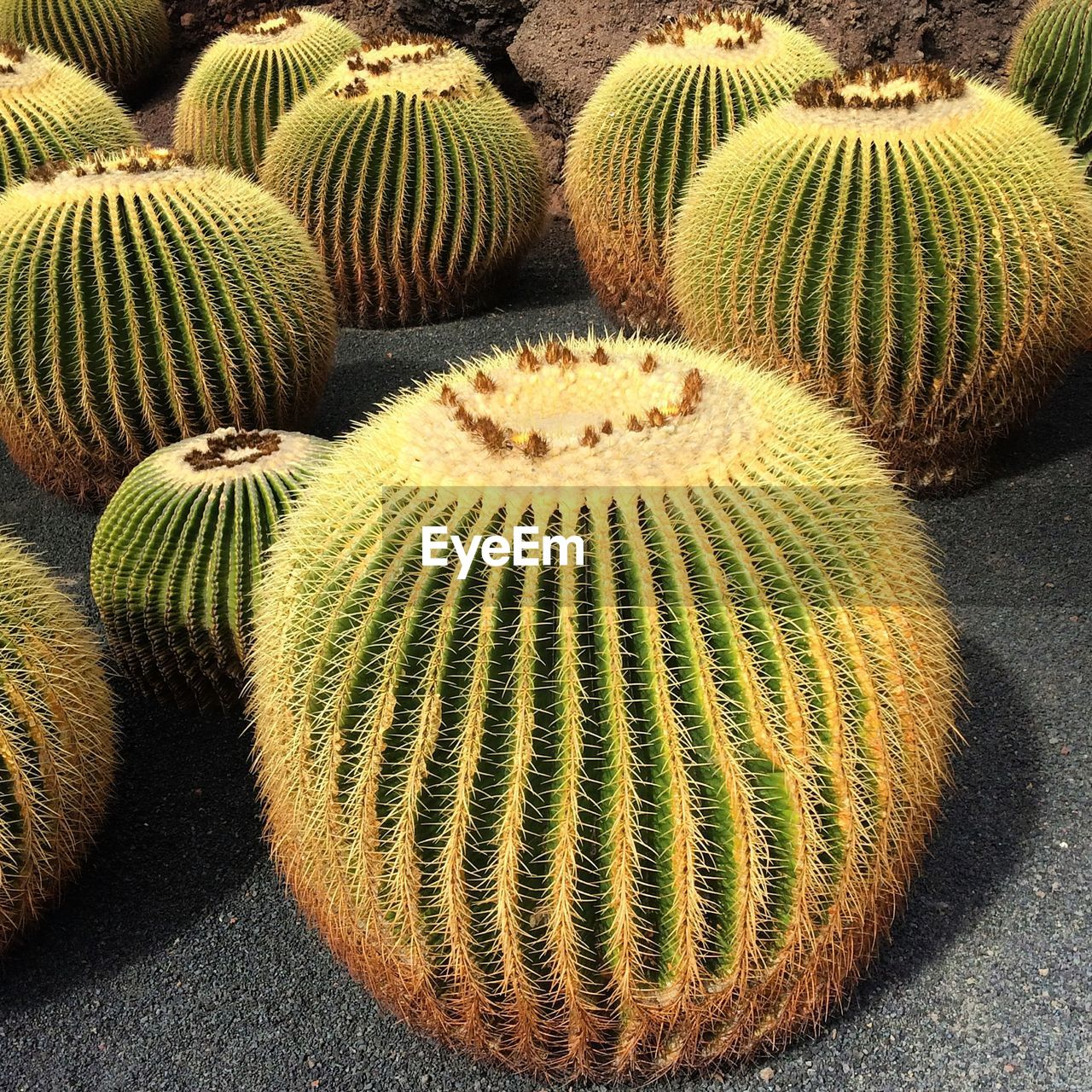 Close-up of barrel cactuses growing on field