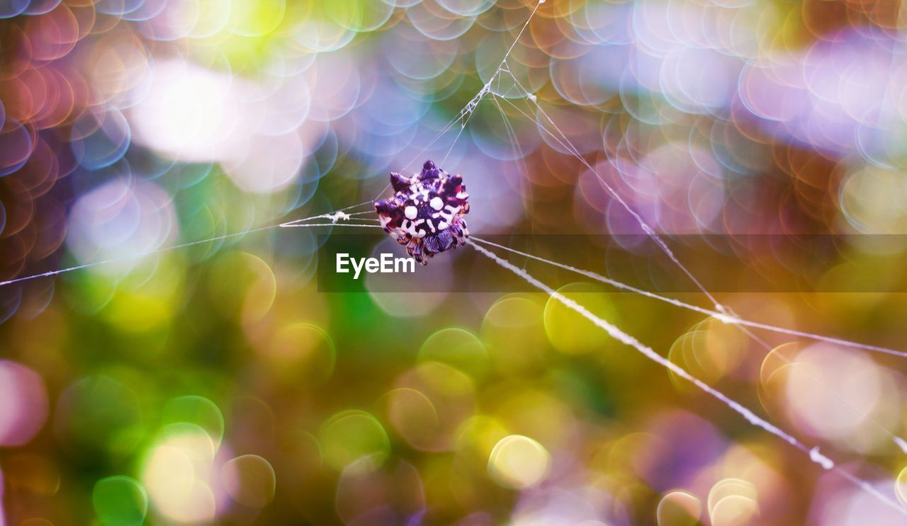 close-up, animal, focus on foreground, fragility, animal themes, one animal, spider web, animal wildlife, invertebrate, vulnerability, insect, no people, animals in the wild, selective focus, spider, arachnid, plant, day, nature, outdoors, lens flare, web, animal leg, purple