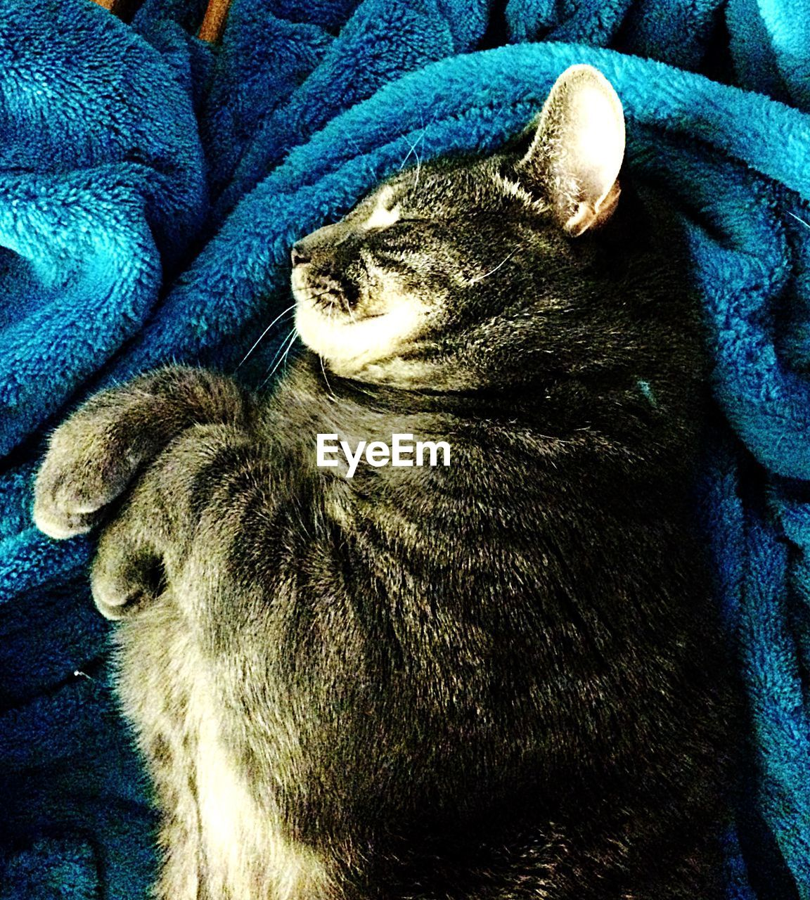 animal themes, one animal, domestic animals, mammal, pets, indoors, no people, close-up, feline, relaxation, blue, day
