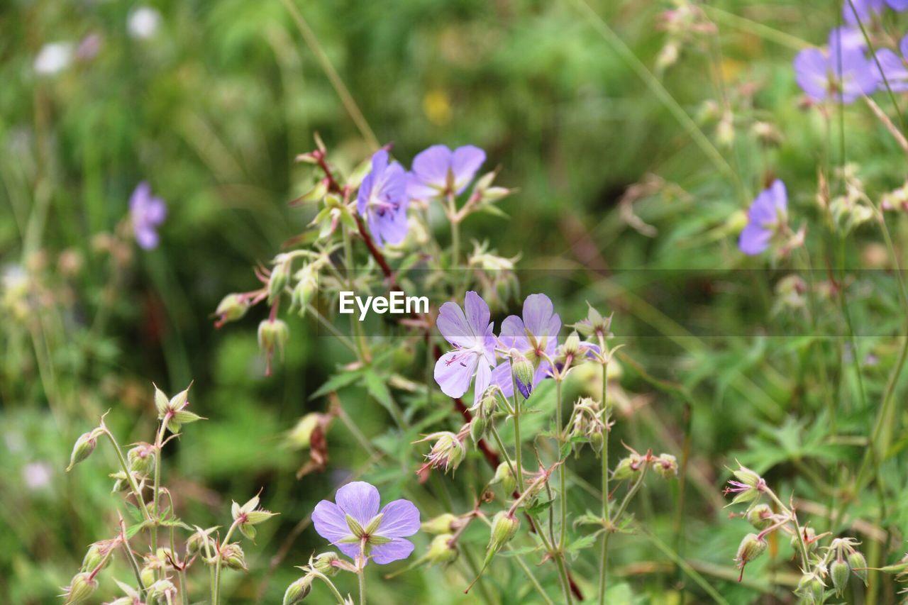 Violet wild flowers