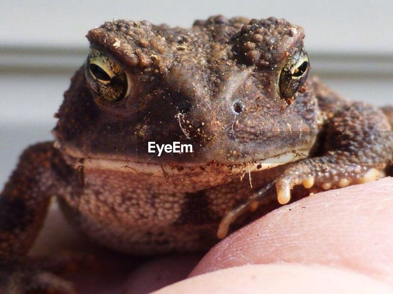one animal, animal wildlife, close-up, animals in the wild, vertebrate, no people, reptile, animal body part, lizard, portrait, day, focus on foreground, amphibian, frog, outdoors, nature, animal eye, marine
