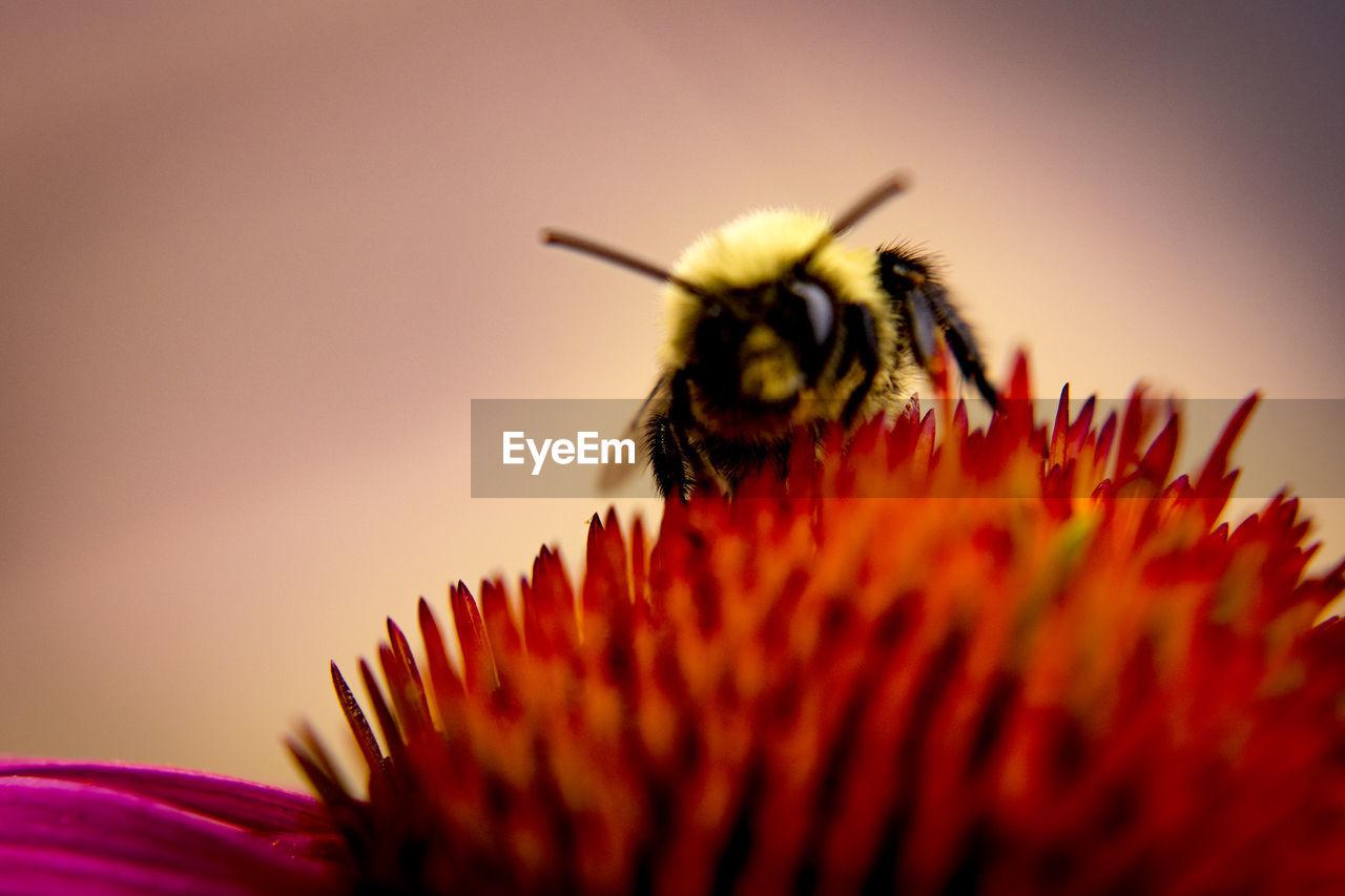 Close-Up Of Honey Bee On Coneflower