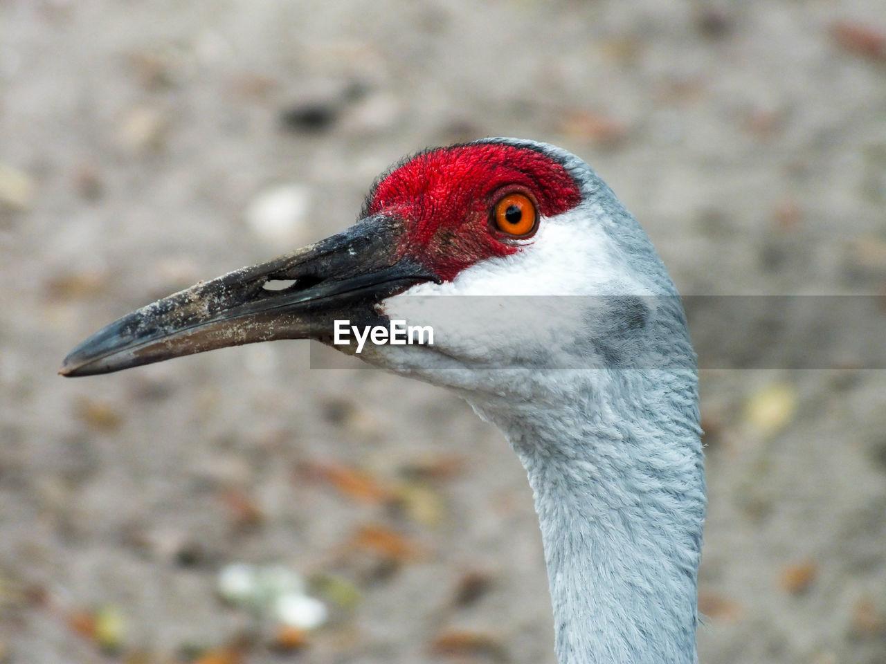 Close-Up Of Sandhill Crane