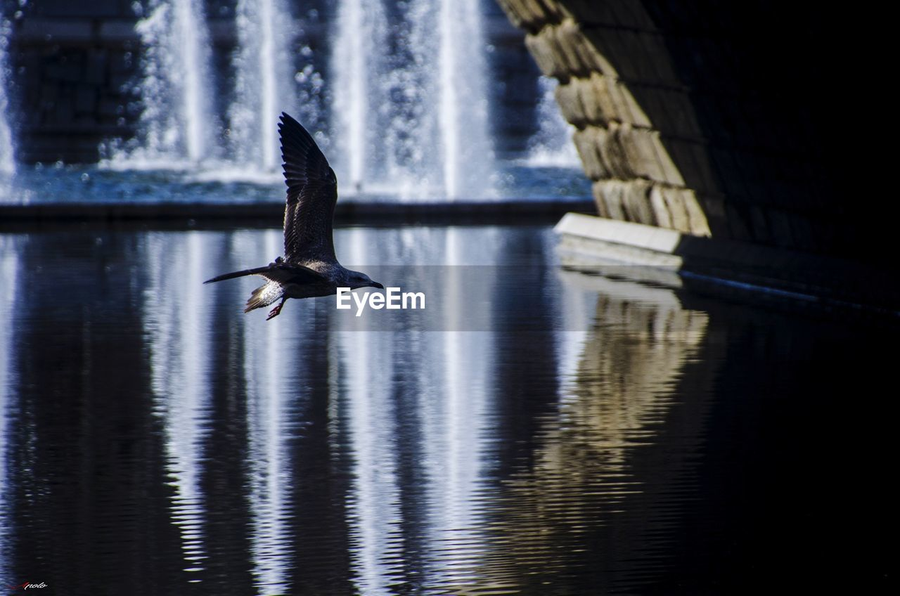 water, animal themes, animal wildlife, animals in the wild, vertebrate, animal, bird, one animal, spread wings, waterfront, motion, flying, reflection, no people, lake, nature, day, outdoors