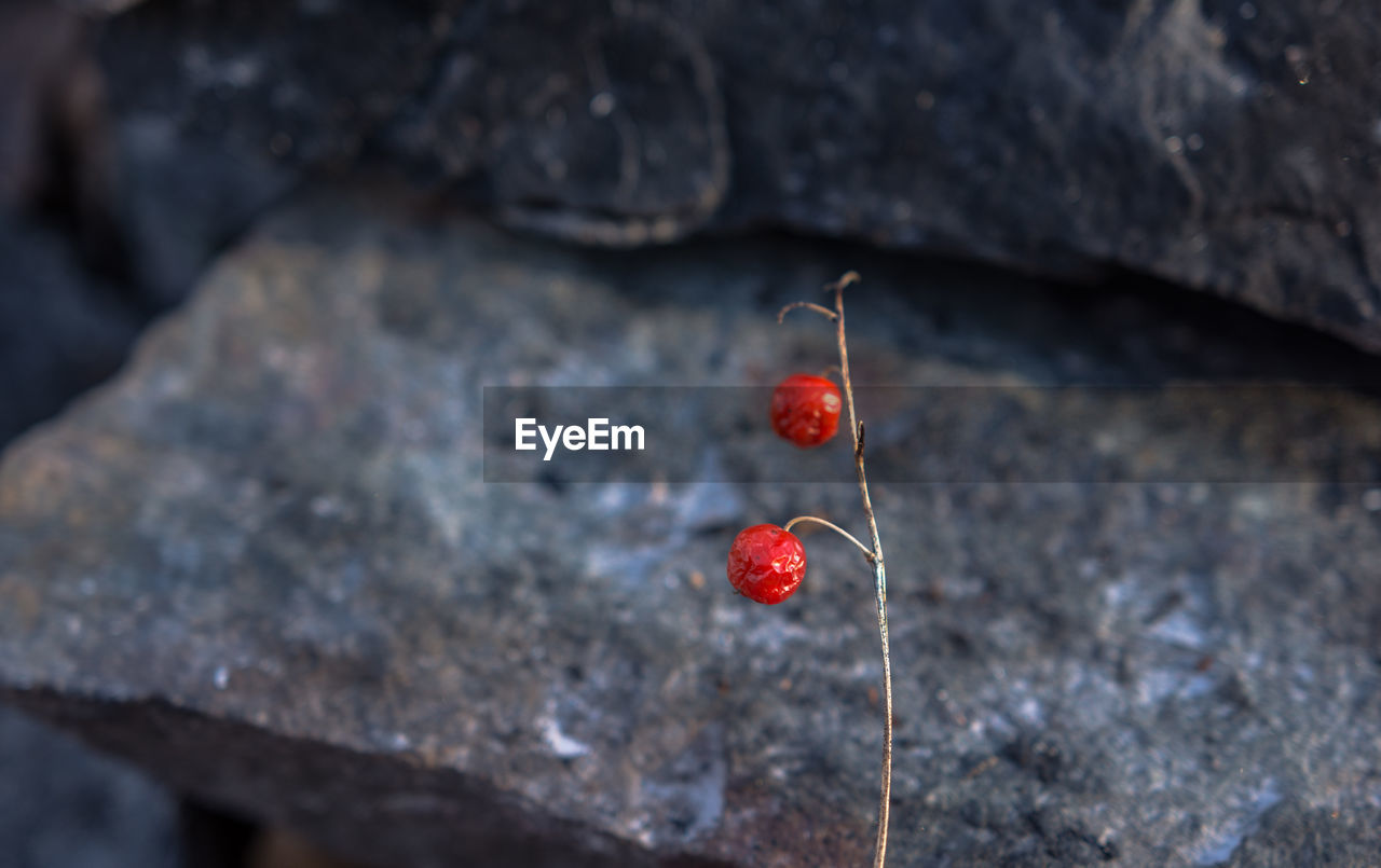 fruit, healthy eating, food, food and drink, red, close-up, berry fruit, focus on foreground, no people, day, freshness, wellbeing, outdoors, nature, cherry, selective focus, plant, beauty in nature, rose hip, textured, rowanberry