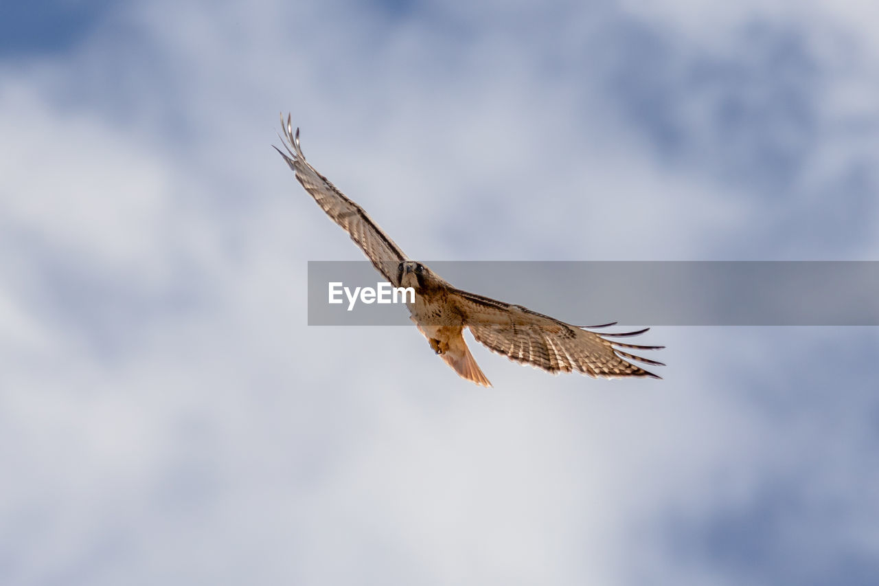 flying, animals in the wild, bird, one animal, spread wings, animal wildlife, bird of prey, animal themes, animal, vertebrate, low angle view, cloud - sky, mid-air, sky, no people, day, nature, beauty in nature, motion, outdoors, eagle