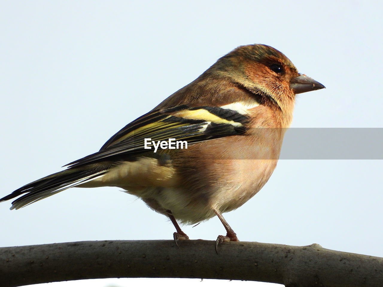bird, animal themes, one animal, animal, vertebrate, perching, animals in the wild, animal wildlife, close-up, no people, nature, day, clear sky, copy space, full length, outdoors, sky, sparrow, focus on foreground, side view