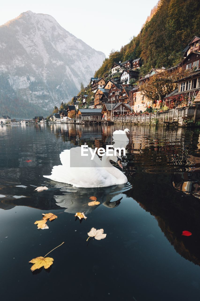 water, mountain, lake, animal themes, bird, animal, animals in the wild, vertebrate, swan, animal wildlife, day, nature, white color, beauty in nature, architecture, swimming, building exterior, built structure, reflection, no people, floating on water