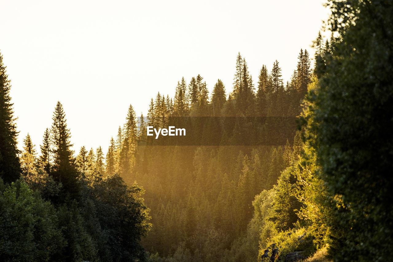 PINE TREES AGAINST SKY
