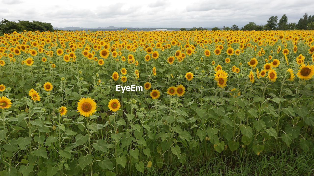 flower, growth, plant, flowering plant, beauty in nature, field, yellow, land, freshness, fragility, vulnerability, landscape, rural scene, agriculture, flower head, sunflower, sky, nature, environment, abundance, no people, farm, outdoors, flowerbed, springtime