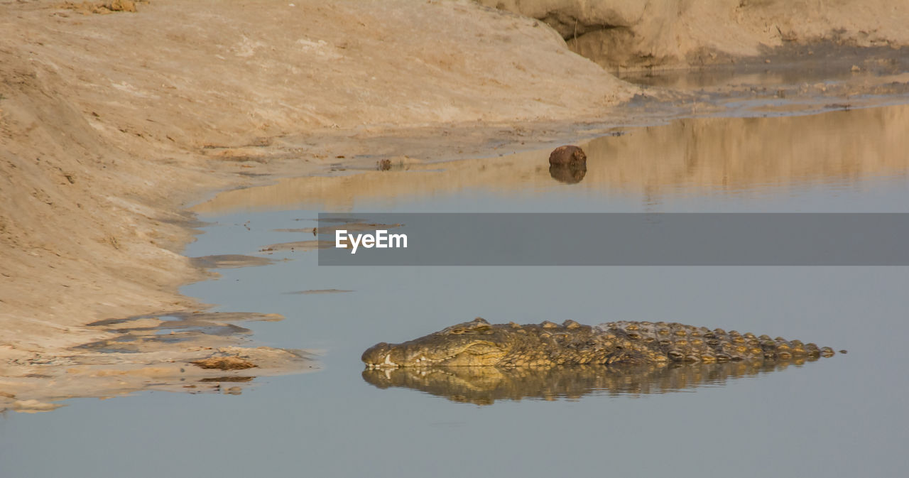 Crocodile In Lake