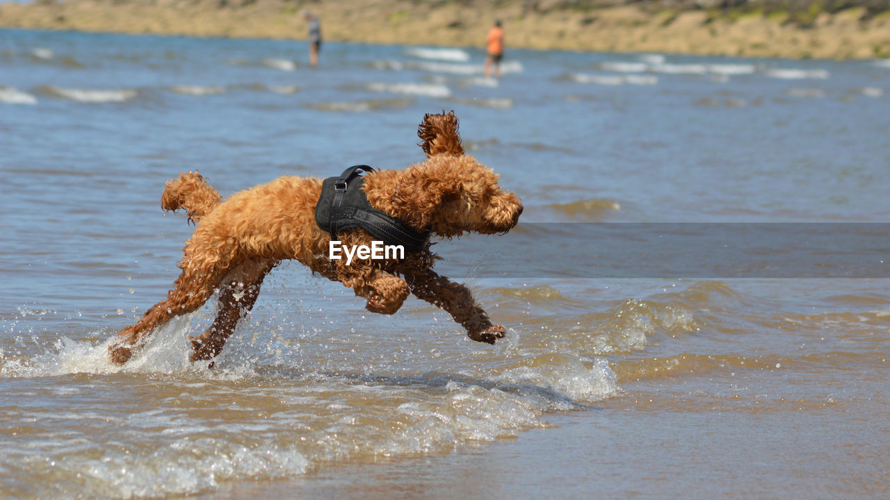 water, motion, sea, beach, land, wave, day, nature, running, animal themes, animal, canine, dog, vertebrate, no people, brown, group of animals, waterfront, focus on foreground