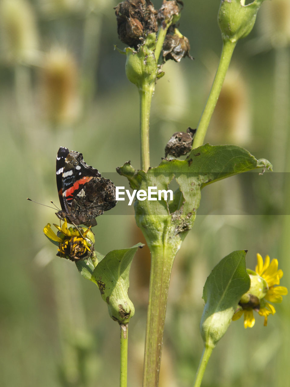 plant, flower, animal wildlife, flowering plant, animals in the wild, invertebrate, beauty in nature, insect, animal themes, growth, animal, close-up, vulnerability, green color, focus on foreground, fragility, nature, freshness, no people, day, flower head, outdoors, pollination, butterfly - insect