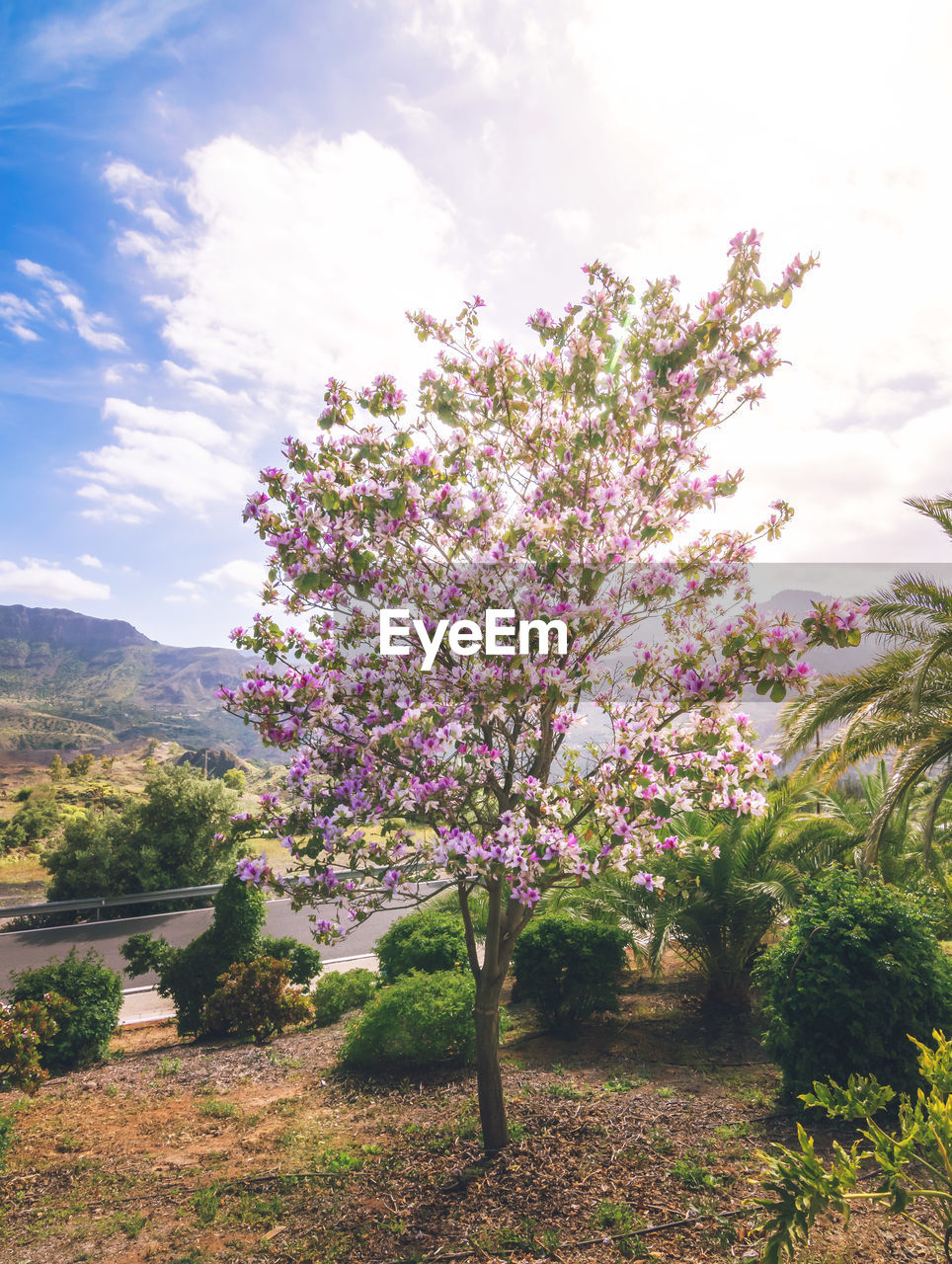 VIEW OF CHERRY BLOSSOM TREE IN GARDEN