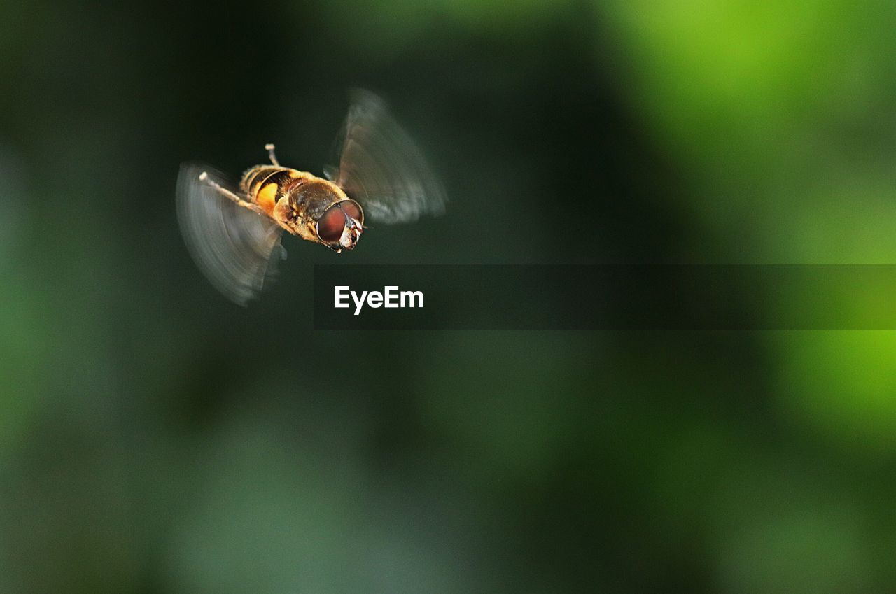 Close-Up Of Bee Flying In Mid-Air