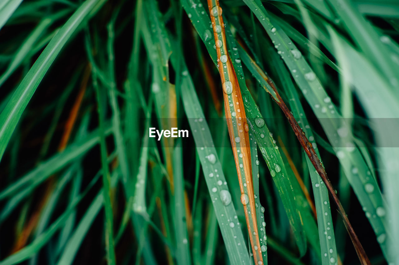 green color, growth, plant, drop, nature, grass, close-up, wet, blade of grass, beauty in nature, water, leaf, plant part, day, no people, selective focus, freshness, backgrounds, outdoors, dew, rain, raindrop, rainy season