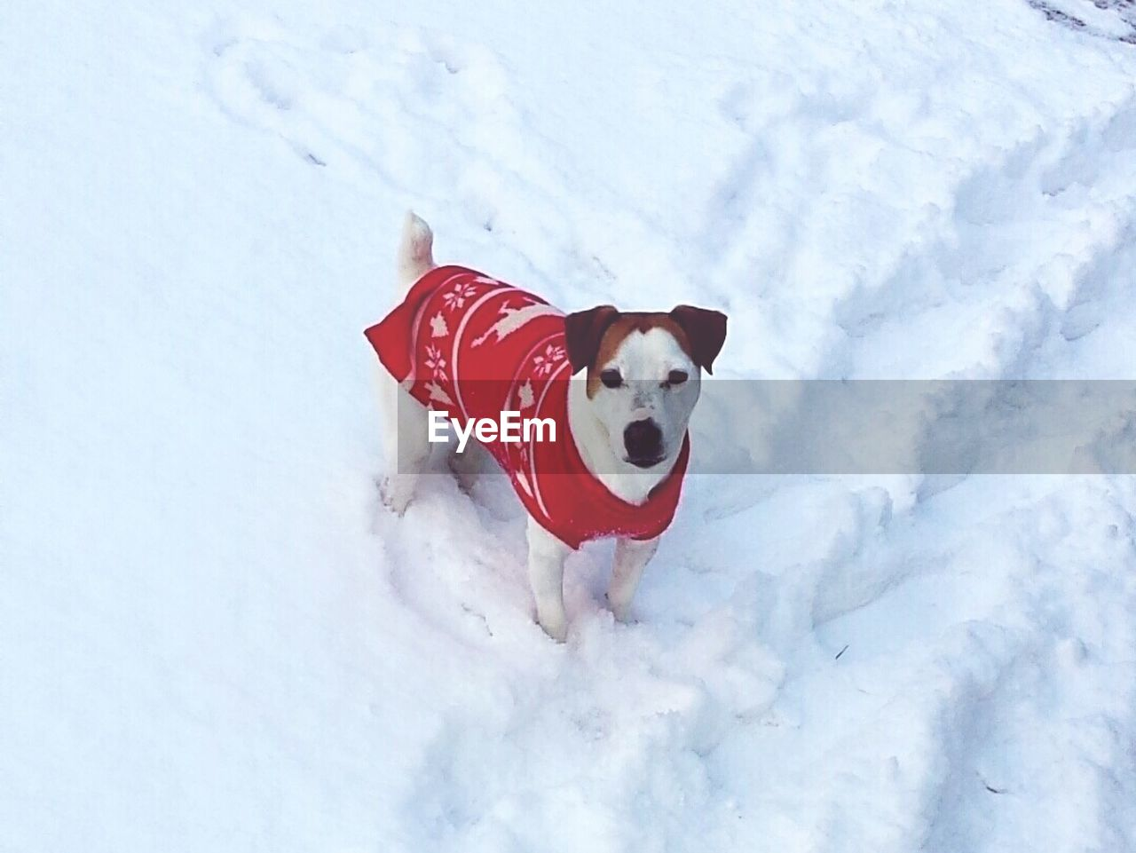 dog, one animal, snow, cold temperature, pets, mammal, domestic animals, white color, winter, animal themes, high angle view, red, day, outdoors, nature, no people, portrait, beagle