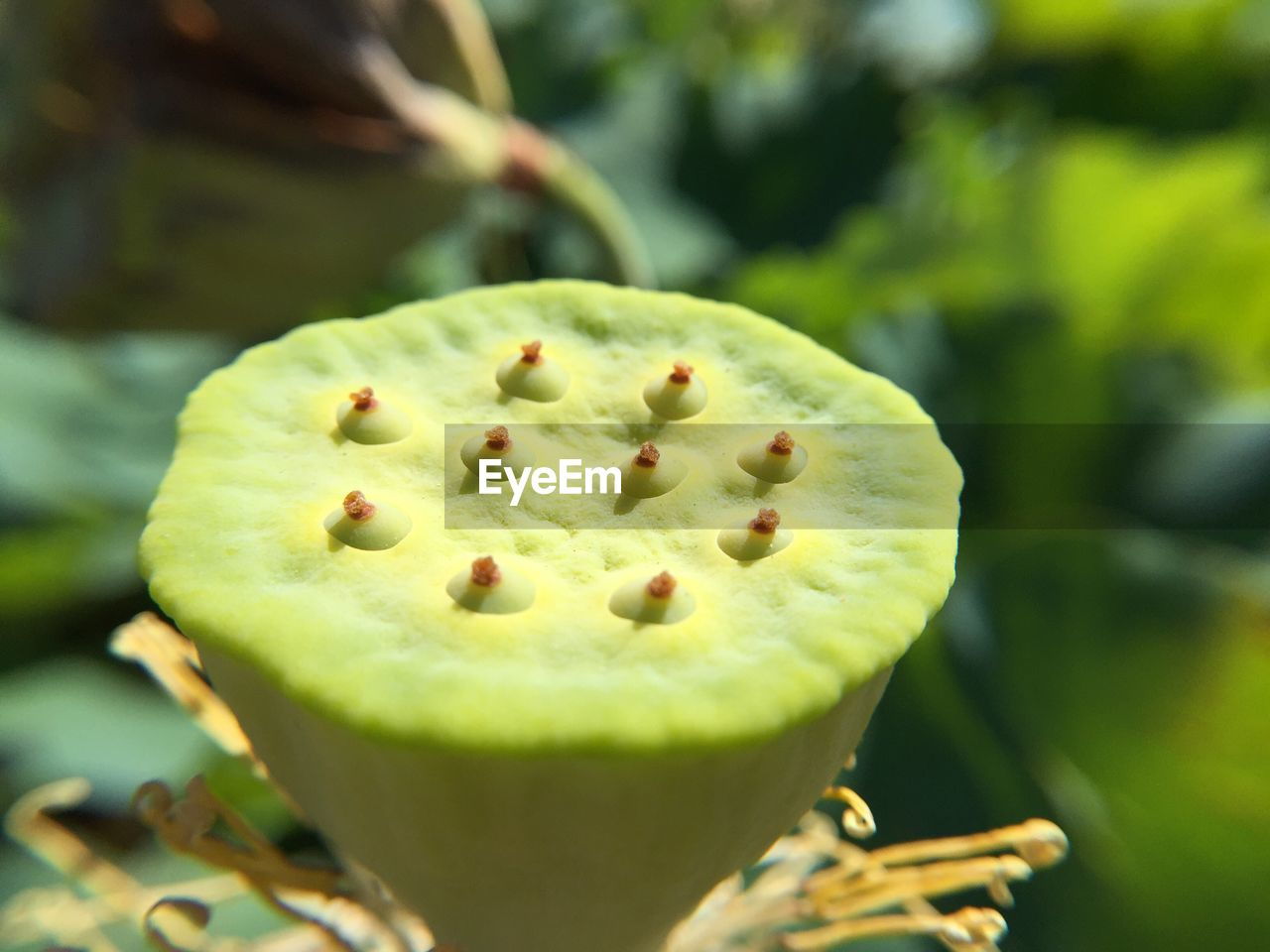 green color, close-up, freshness, food and drink, food, seed, focus on foreground, fruit, no people, day, healthy eating, growth, plant, selective focus, wellbeing, nature, beauty in nature, outdoors, cross section, leaf