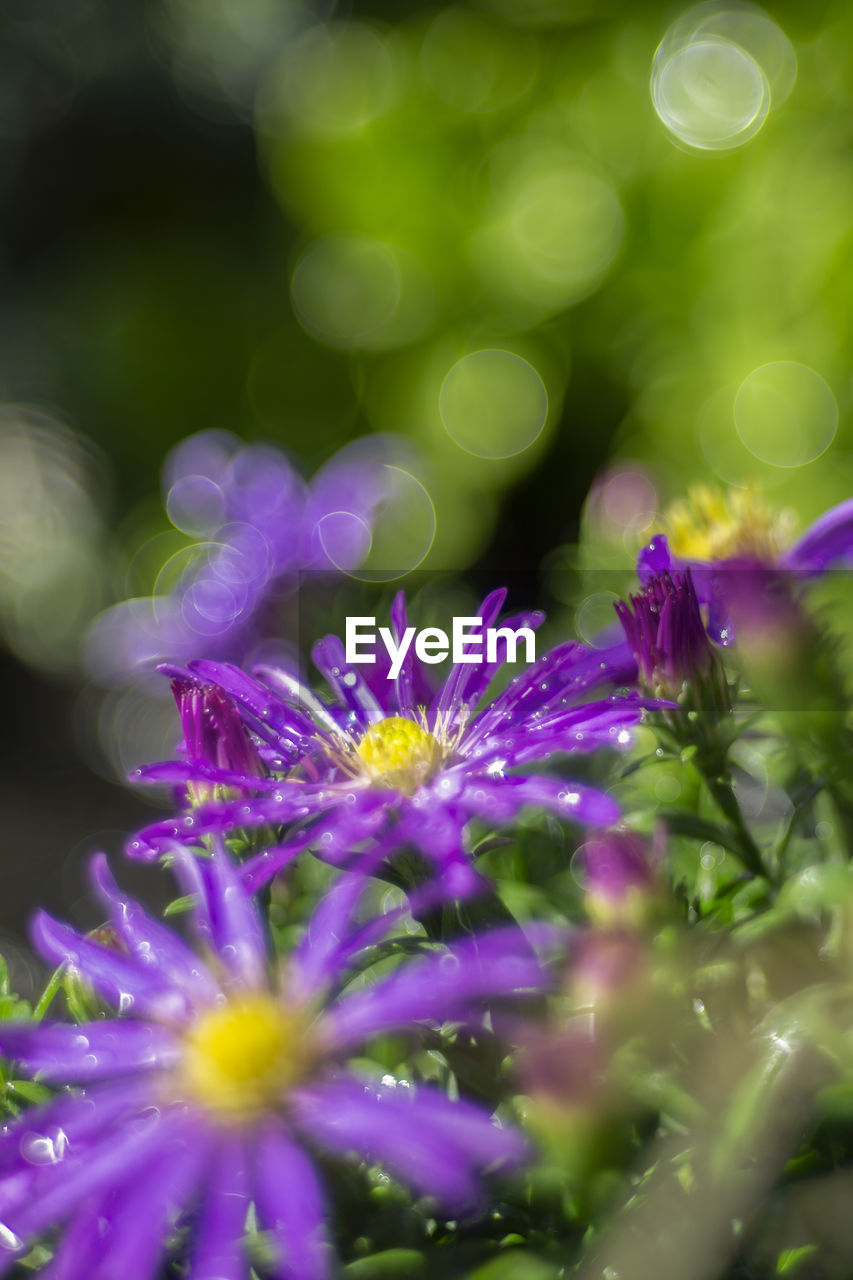 flowering plant, flower, plant, freshness, vulnerability, beauty in nature, fragility, growth, close-up, selective focus, petal, purple, flower head, no people, nature, inflorescence, day, outdoors, pollen, sunlight, dew