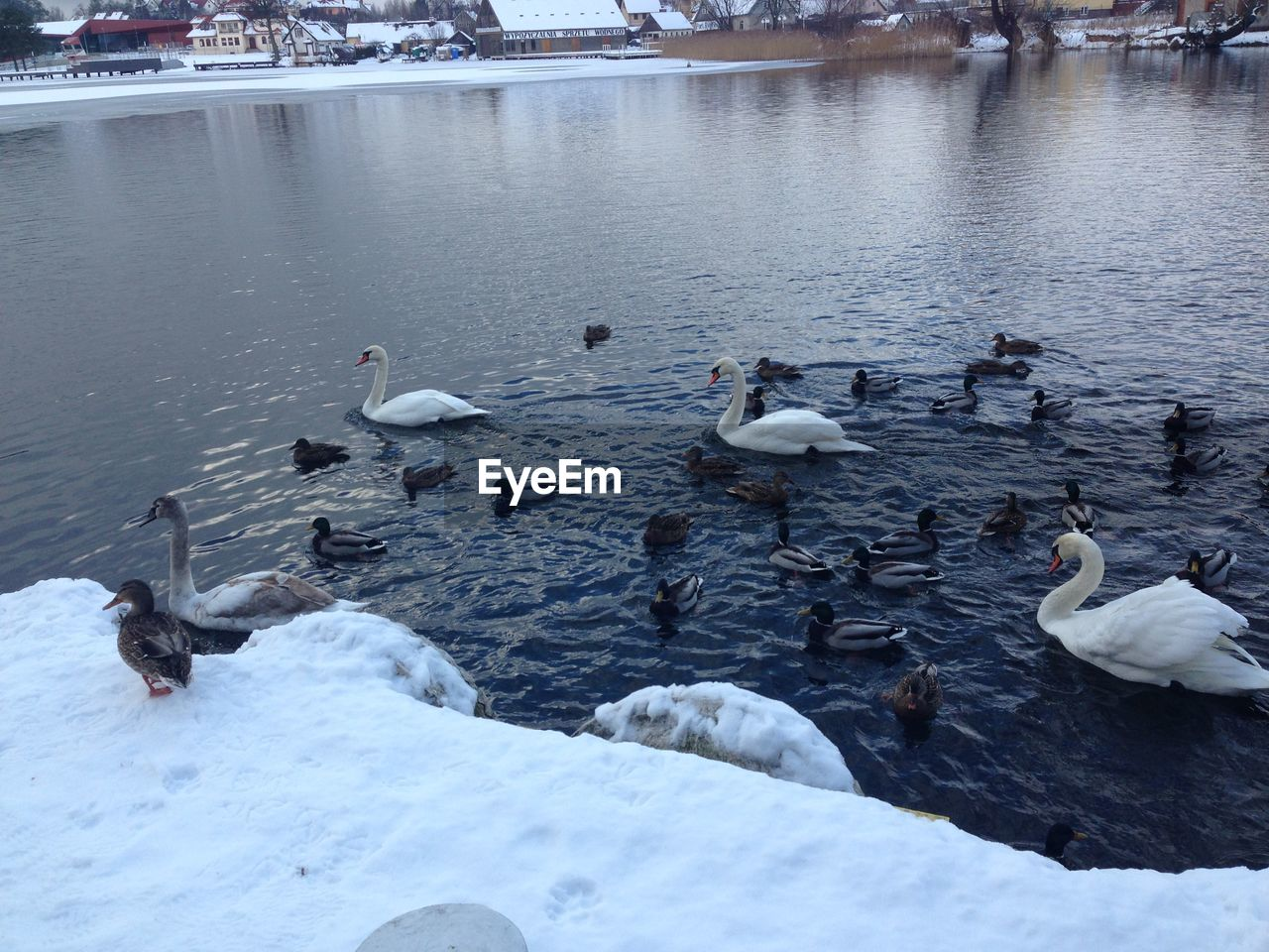 animals in the wild, bird, animal themes, animal wildlife, water, large group of animals, lake, nature, high angle view, day, swan, winter, cold temperature, no people, duck, water bird, outdoors, goose, swimming, beauty in nature