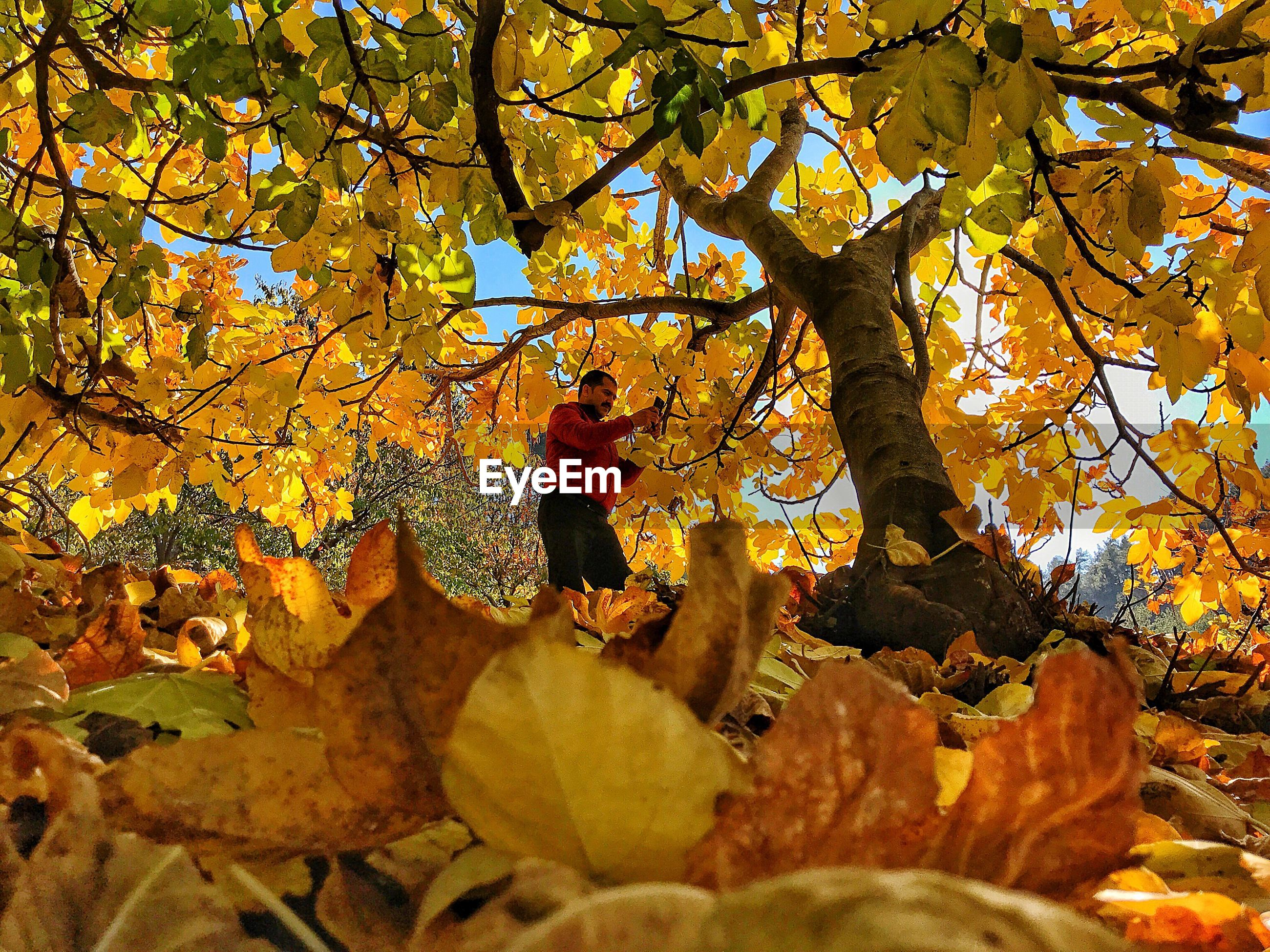 Low angle view of man standing below maple tree