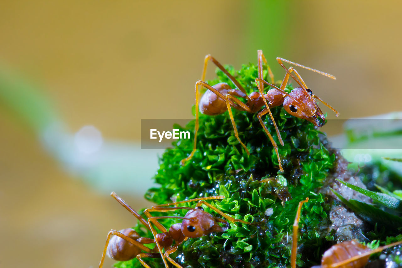 close-up, invertebrate, insect, animal wildlife, animal themes, animal, animals in the wild, green color, focus on foreground, one animal, selective focus, no people, day, nature, freshness, ant, food, praying mantis, animal antenna
