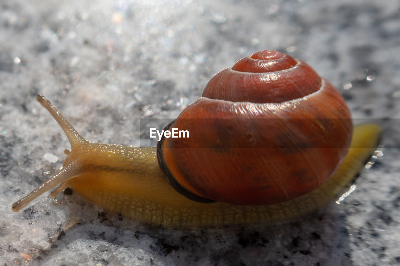 gastropod, mollusk, snail, close-up, animal, animal wildlife, shell, invertebrate, animal shell, animal themes, one animal, no people, day, animals in the wild, animal antenna, focus on foreground, animal body part, brown, nature, outdoors