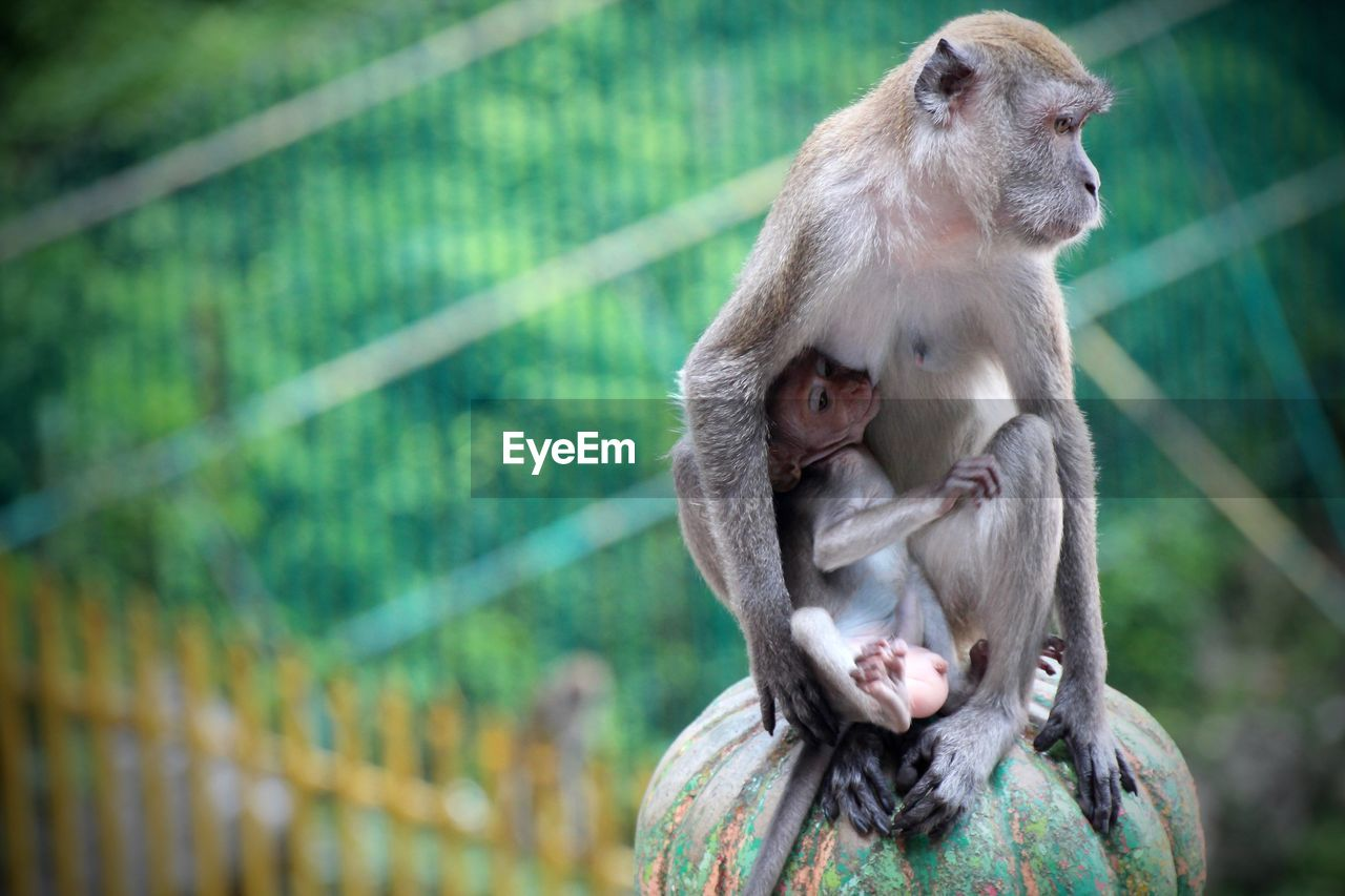 Close-Up Of Monkey With Infant On Metal