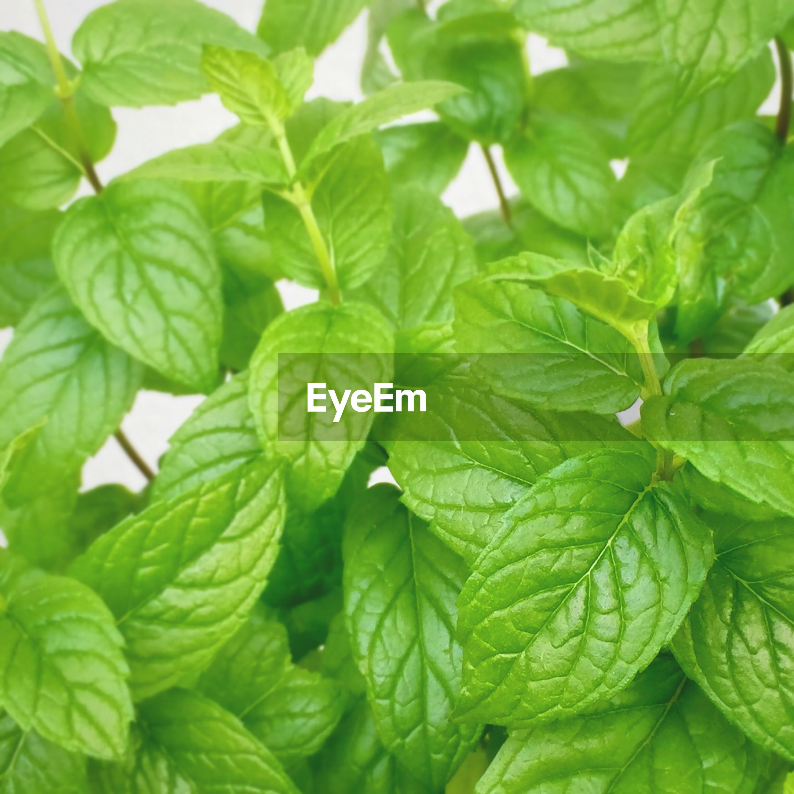 Full frame shot of green mints